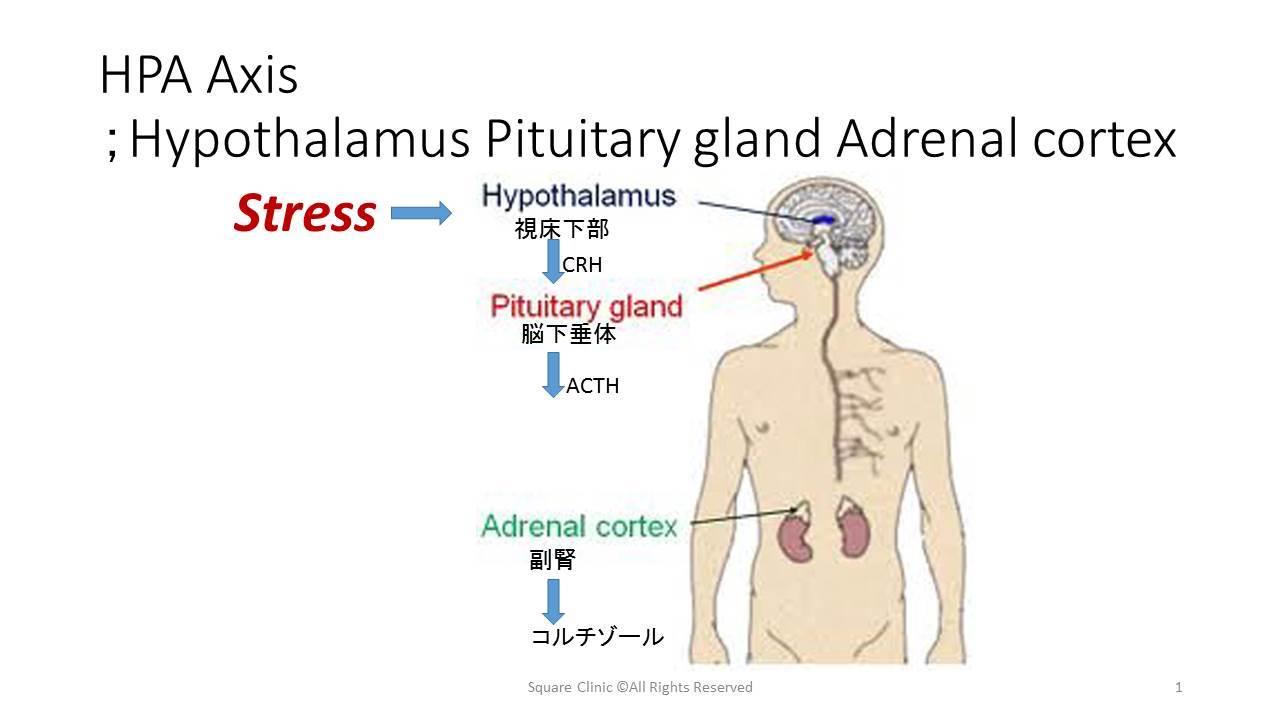副腎 皮質 ホルモン ストレス